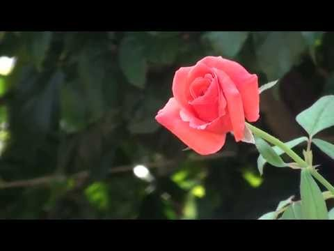 Free HD video Wedding flowers background,and composing background _1 thumbnail