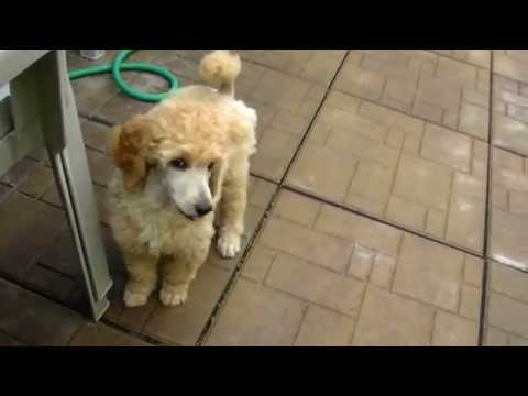 Arreau standard Poodles Poodle puppies 2 months old outside playing