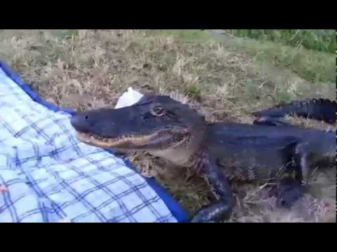 Mel Taylor - Gator Crashes a SPECIAL PICNIC DATE ...