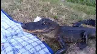 Alligator Crashes UF Student