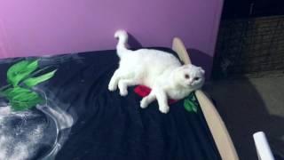 Промах котенка мейн-куна