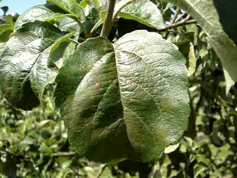 Apple scab- a common disease of apples and pears - YouTube
