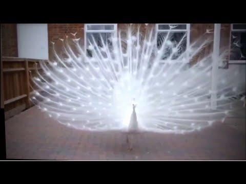 Chim Công Trắng Khoe Sắc - White Peafowl [HD]