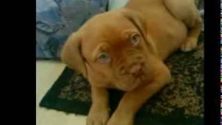 Bordeaux Dogge. Dogue De Bordeaux 9 Wochen
