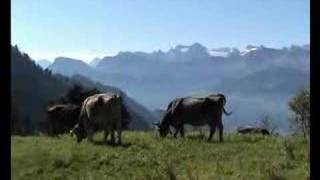 Swiss cows in the alps cows in the alps