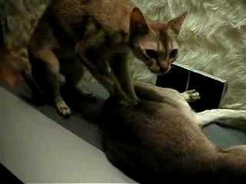 Singapura Cat Massage