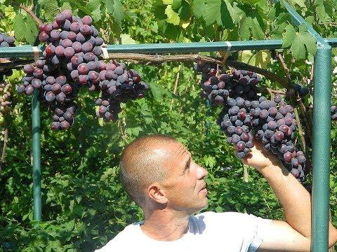 Ультра ранние сорта винограда. Сезон 2017 (Ultra early varieties of grapes. Season 2017)