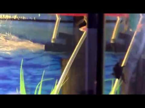 Рыбка Гурами (Самец и Самка)