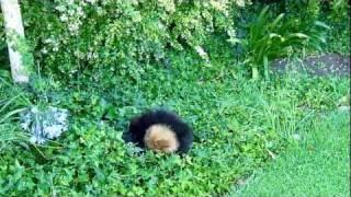 Pomeranian Puppies Playing In The Ivy