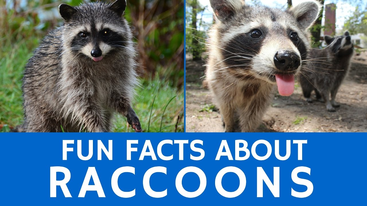 interesting facts about raccoons u2013 cute animal video for kids and