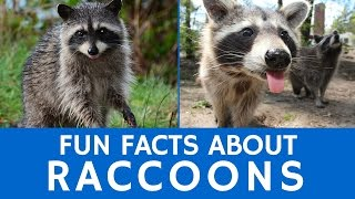 Interesting Facts about Raccoons – Cute Animal Video for School Learning