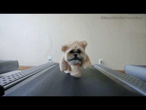Teddy bear dog walks on treadmill again