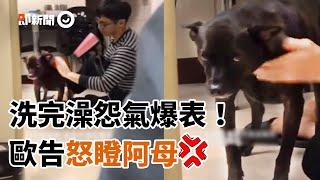 黑狗被抓去洗澡怒瞪阿母 怨恨值爆表!|寵物|動物|歐告|狗狗