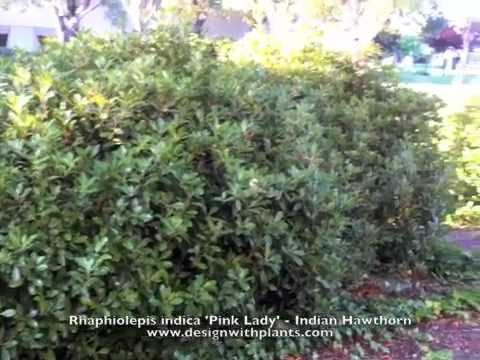 Rhaphiolepis Indica Pink Lady Indian Hawthorn Youtube