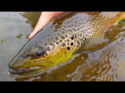 MadDog Outdoors - White River Arkansas Brown Trout 2014