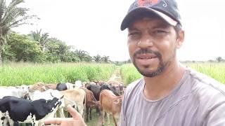 Como sobreviver criando gado de corte numa terra pequena parte  - 1