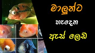 Fish Eye Diseases (Ocular Disease) Sinhala.......FishFix SriLanka