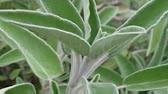 Цены на шалфея листья, подробная инструкция по применению, противопоказания, побочные действия, состав на сайте. Купить шалфея листья.