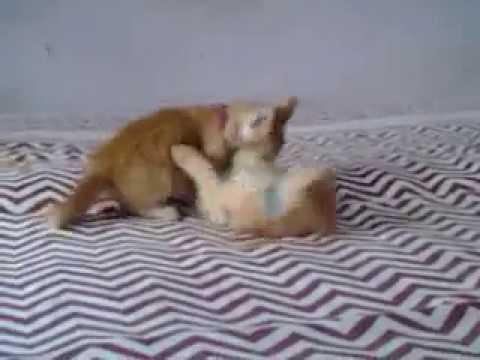 Cute Kittens Aggressive fighting..!