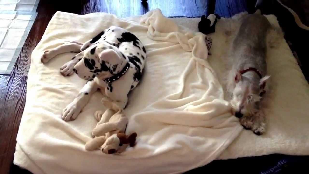 Harlequin Great Dane Puppy Sleeping Youtube