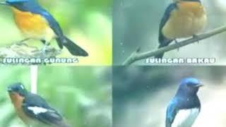 Suara pikat semua jenis sikatan slendang biru