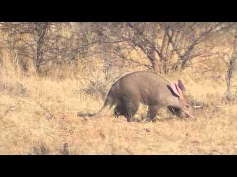 Aardvark Ant Bear Youtube