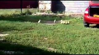 Прикол про гусей смотреть всем хаха