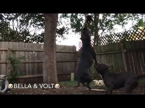 My 2 CRAZY Dogs Playing & Hanging! 😱 Bella & Volt 🐶🐾