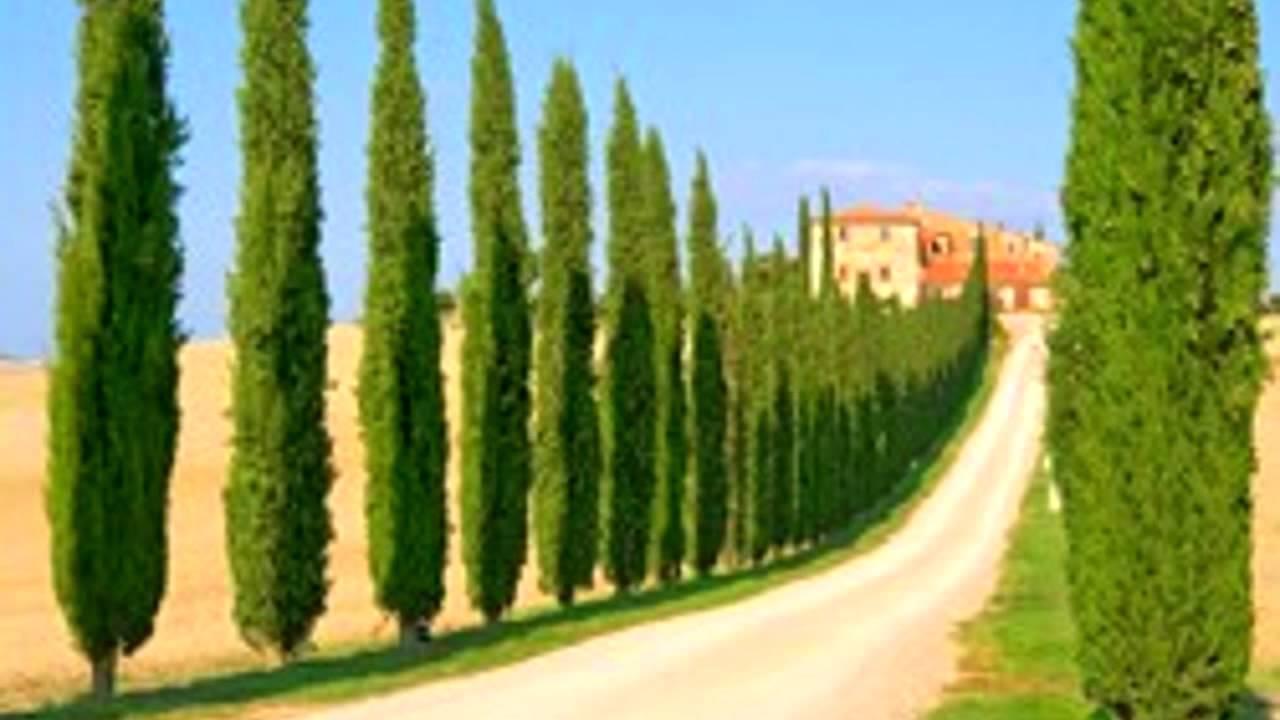 italian cypress tree evergreen memorial cemetery plant sale