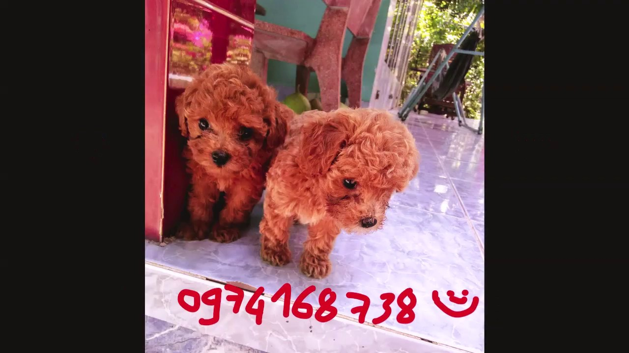 Bán Chó Poodle đỏ Miền tây, Chó #Poodle đẹp giá rẻ Mỹ tho   0974 168 738