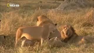 Львы   Жизнь прайда  Документальный фильм о львах
