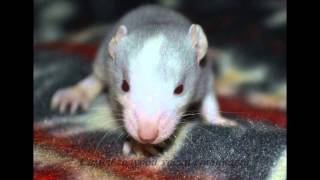 Крысята ищут новый дом(Кто-то выбросил крыс. Их подобрали. Самка оказалась беременной и 28 декабря 2014 года родила очаровательных..., 2015-01-17T20:24:55.000Z)