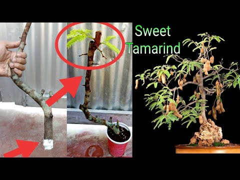 Download How to grow tamarind (imli) tree from cutting!!!!