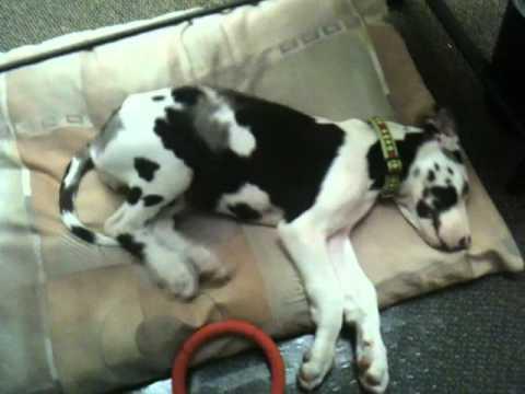 Great Dane Puppy Sleep...