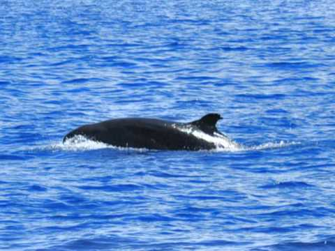 OPCF USSP 2011: Cetacean Survey in Bohol, Philippines (CUHK)