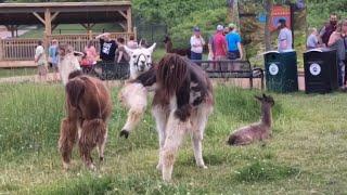 Adult Night - Minnesota Zoo - Llama Trek - 06272019 - HD  - 4k