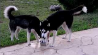 My Siberian Huskies