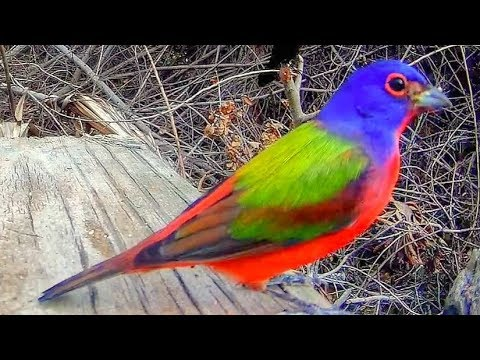 Painted Buntings - Most Colorful Songbird Close-Up