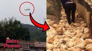 Ratusan Ayam Mendadak Tamat Gara-gara Helikopter Lewat, Mengapa?