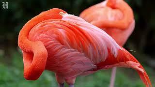Are flamingos Florida natives?