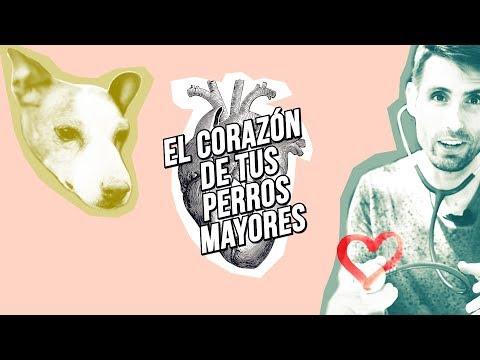 Enfermedad del corazón en perros mayores. 4 síntomas de cardiopatía en tu compañero canino 🐶💓