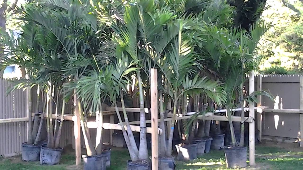 island wide palm trees 2013 in stock trees windmill palms and