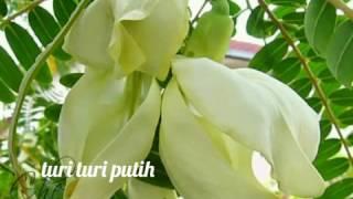 Download Lagu Turi-turi putih versi dangdut enak di dengar sebagai pengingat kita mp3