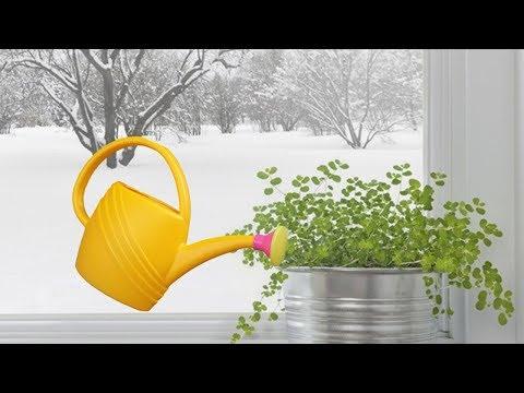 Вопрос: Когда поливать комнатные растения – в дождь или ясную погоду?