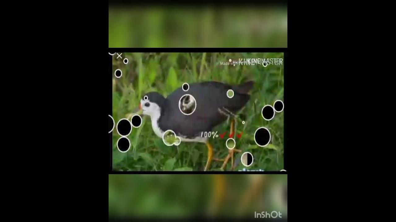 Download 🔊Trap Sound Bird Waterhen ( 2021) White-breasted waterhen Burung Ruak Ruak sound..🐤😀😀👆👆👆👆👆👆