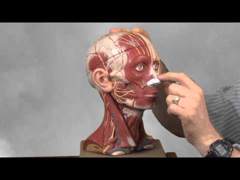 Muscles of facial Expression with Allan Forsman