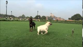 Ryder Kennel Dogs Exercise Session With A Labrador Retriever & A Rottweiler
