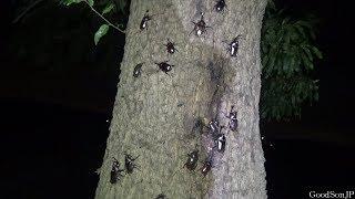 ほぼ1本のクヌギ、しかも6月【昆虫採集・カブトムシ・クワガタ】