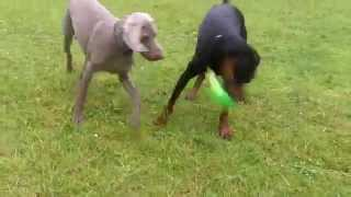 Weimaraner Seb Trying To Steal Doberman Dexter Toy!