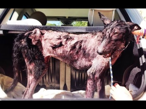 Amazing recovery of a dog that was dying in the forest